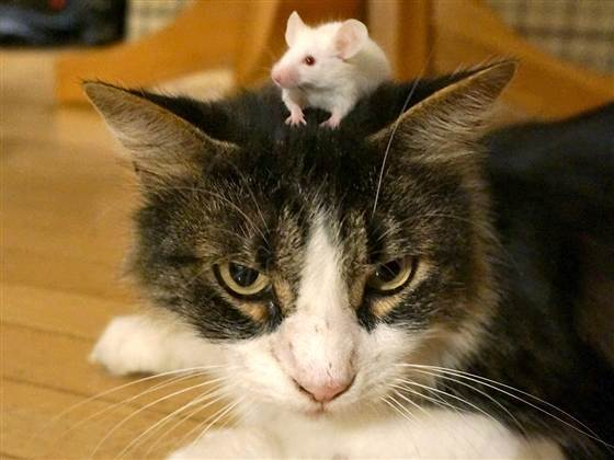 mousehat